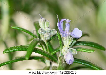 Rosemary flower macro, blooming rosemary shrub branch..