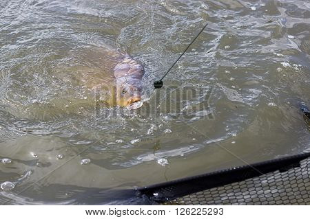 Big Carp on a fishing line. Carp fishing trophy.