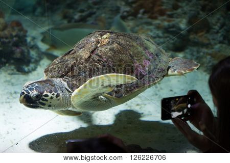 GENOA, ITALY - MARCH 22, 2016: Visitor takes photos as the loggerhead sea turtle (Caretta caretta) swim in the Genoa Aquarium in Genoa, Liguria, Italy.