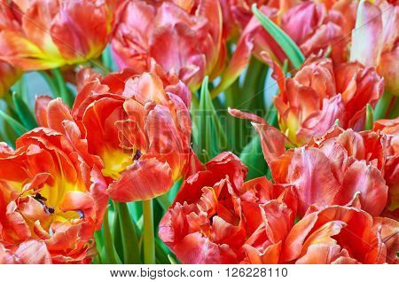 Beautiful red tulips. Tulips with jagged edges