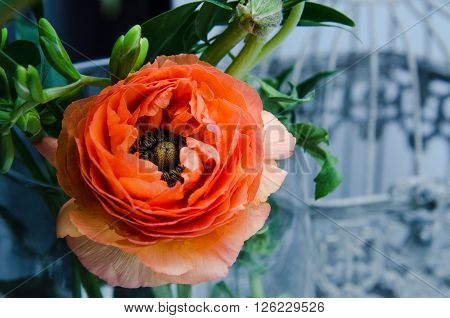 One beauty, spring orange, persian flower buttercup ranunculus macro. Rustic style, still life. Colorful holiday background for pleasure and present.