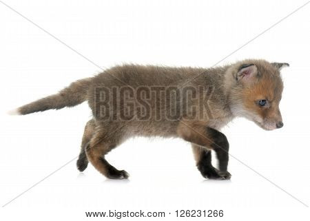 red fox cub in front of white background