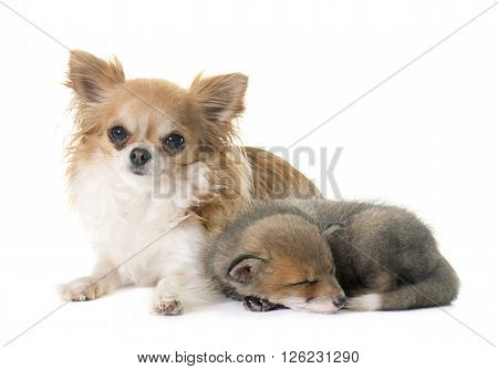 red fox cub and chihuahua in front of white background