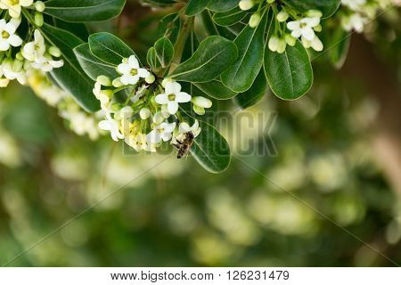 Bee sitting on spring white flowers in Corfu Greece