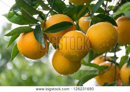 Orange tree with ripe oranges in the garden