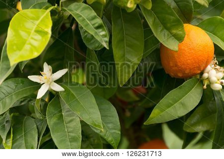 Mandarin orange tree with flowers and ripe mandarin fruit in the garden