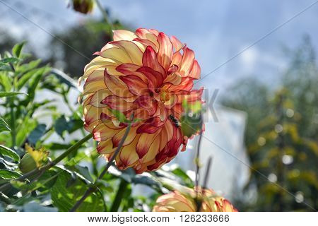 Close Up Of Dahlia Flower In Garden On Spring Time
