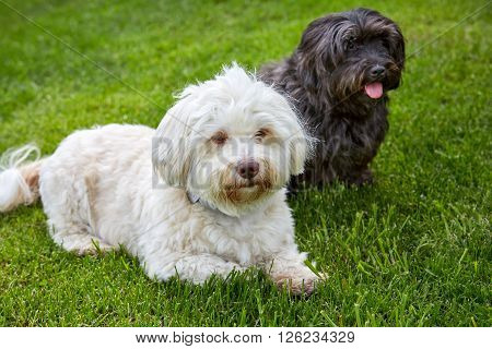 White And Black Havanese Dog Lying In The Green Grass