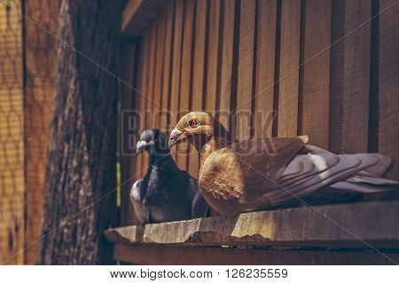 Pair Of Homing Pigeons