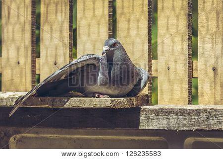 Racing Pigeon Hen