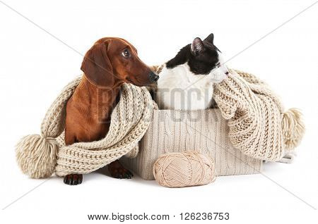 Dachshund and cat in box with scarf, isolated on white.