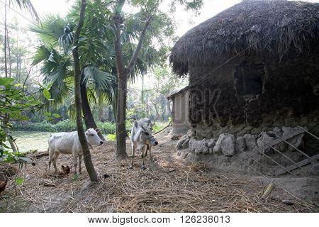 SUNDARBANS, INDIA - JANUARY 16: Bengali village January 16, 2009 in Sundarbans, West Bengal, India.