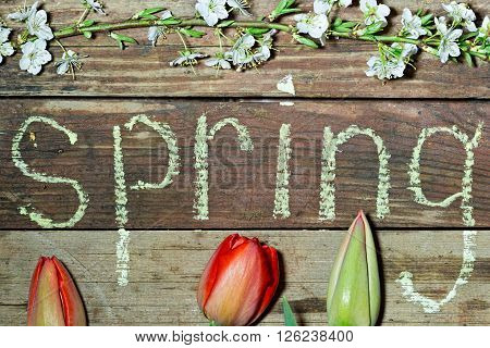 Spring background three unblown flower tulip, cherry branch with flowers and young leaves and the inscription in chalk spring on the rough wooden background. Top view close-up image
