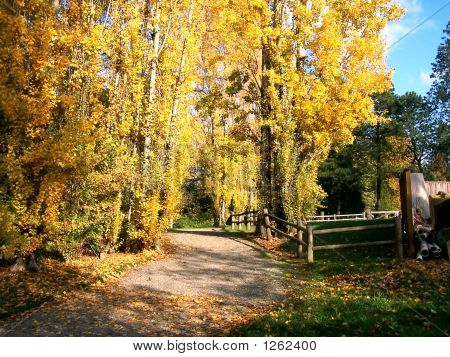 Path Lined By Poplars
