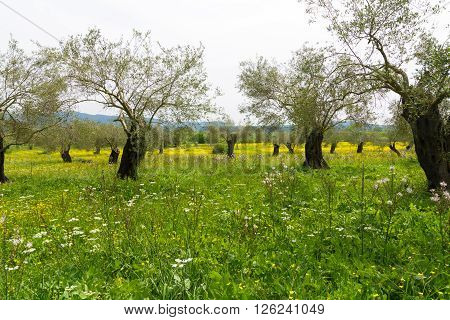 Old olive trees on flowers meadow on Corfu Greece