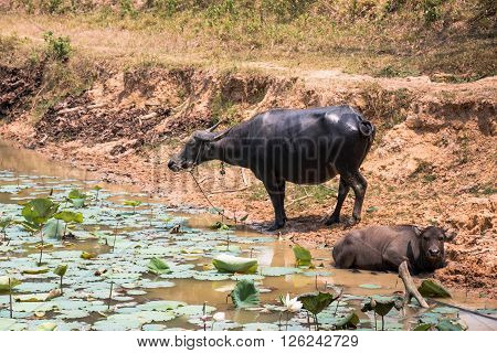 Buffalo Is Life Machine Of Farmer At Canal.
