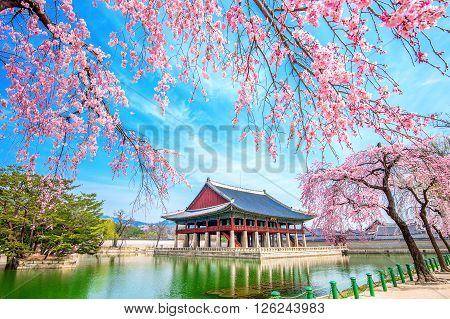 Gyeongbokgung Palace with cherry blossom in spring South Korea.