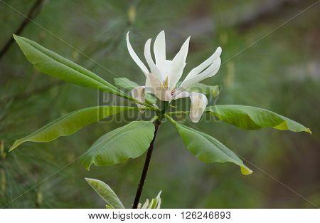 Flowers and leaves of Umbrella Magnolia (Magnolia tripetala)