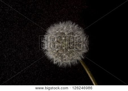 Details of a dandelion isolated on black  background
