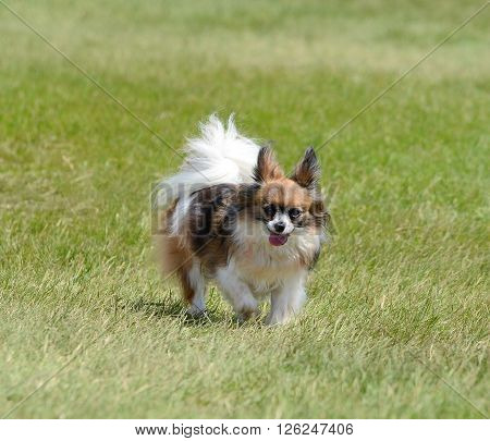 Papillon Running on the Grass on a Sunny Day