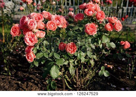 Bush of scarlet roses in a garden
