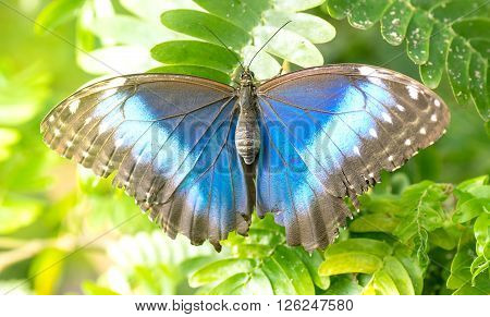 Pretty blue morpho butterfly sitting on green leaves