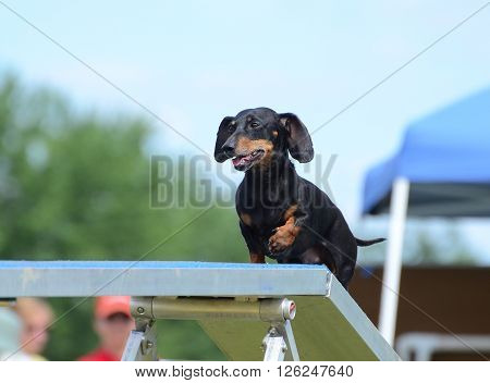 Black and Tan Dachshund Running on a Dog Walk at an Agility Trial