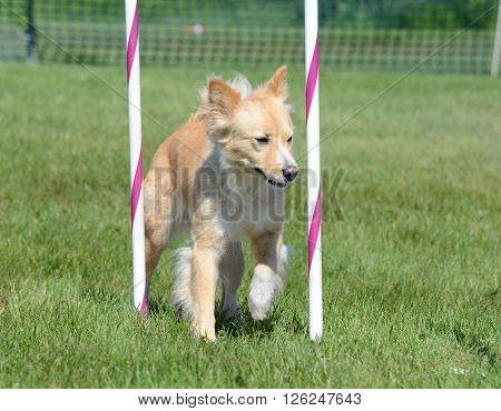 Mixed-Breed Dog Doing Weave Poles at Dog Agility Trial