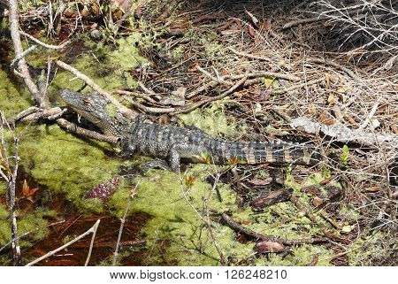 A young alligator rests in a marsh in St. Andrews State Park Florida. The detailed view of its habitat includes vegetation pine cones and blooms.