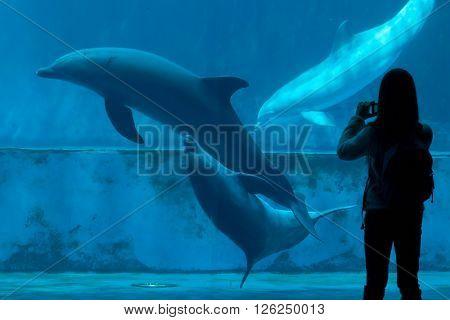 GENOA, ITALY - MARCH 22, 2016: Visitor takes photos as common bottlenose dolphins (Tursiops truncatus) swim in the Genoa Aquarium in Genoa, Liguria, Italy.