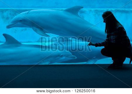 GENOA, ITALY - MARCH 22, 2016: Visitor observes as common bottlenose dolphins (Tursiops truncatus) swim in the Genoa Aquarium in Genoa, Liguria, Italy.