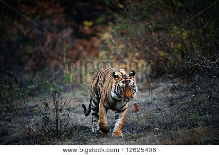 India Tiger.