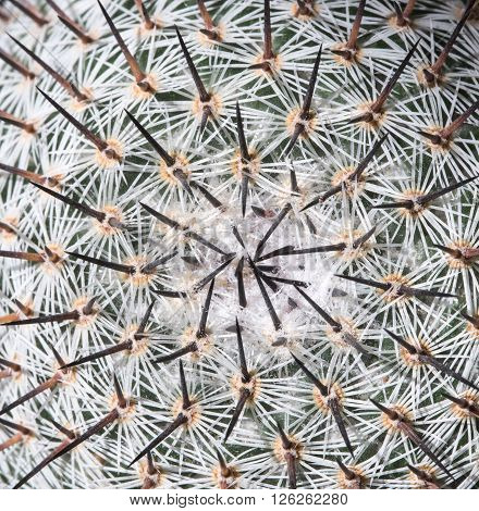 Abstract details of a Mammillaria Geminispina cactus with thorns.