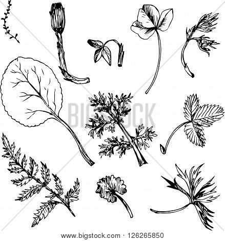 Set of ink drawing wild flowers, herbs and leaves, line drawing wild plants, botanical illustration in vintage style, isolated drawing floral set, hand drawn vector illustration