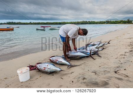 Tamarin Mauritius - December 8 2015: Fisherman handles nine freshly big tuna on the beach of Tamarin Bay in Mauritius.