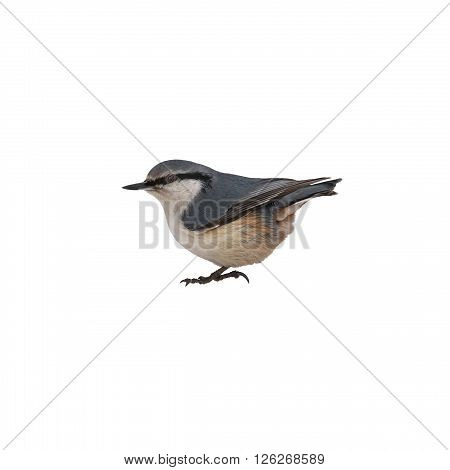 nuthatch sitting sideways on a white background isolated