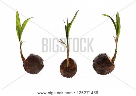 Dry coconut and have seedlings are growing for propagating isolated on white background with clipping paths.