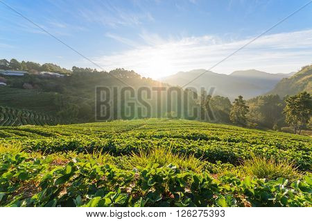 Strawberry field in morning at doi angkhang chiang mai thailand