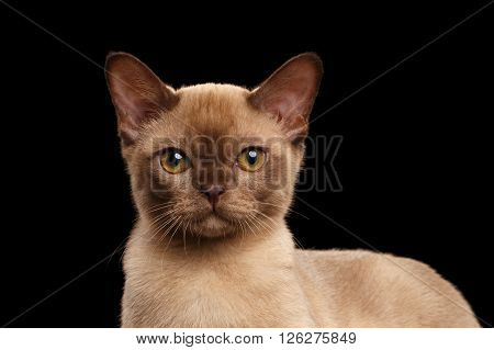 Closeup portrait of Cute Burmese kitten on Isolated black background