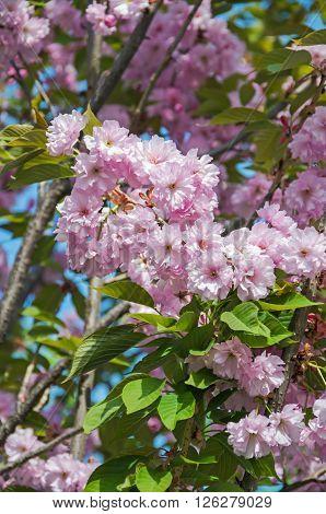 Blooming pink sakura flowers in the city park in early spring