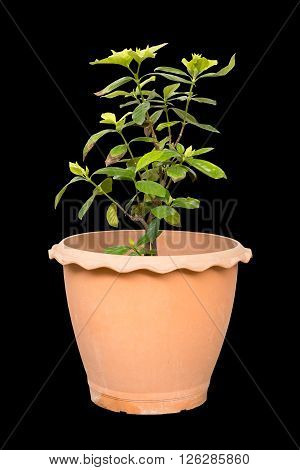 Gardenia jasmine isolated on black background with clipping path