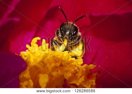 a honey bee peeping out of a peaony