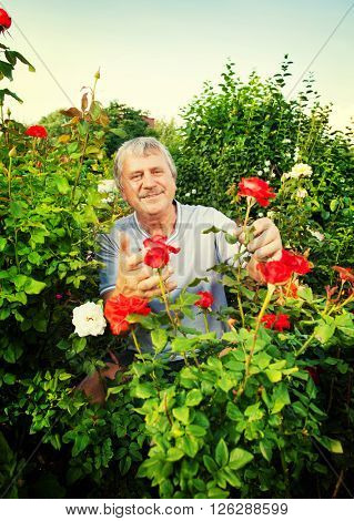 Mature man caring for roses in the garden
