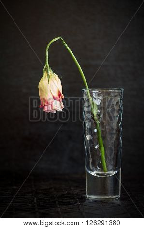 Beautiful flower wilting rose on a dark background. The symbol of sadness and loneliness.