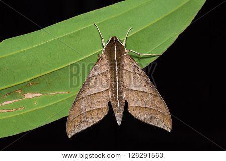 Ampelophaga Dolichoides Hawk Moth