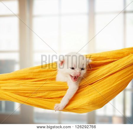 White kitten in a yellow hammock growling. Cute white kitten in a hammock having rest, in front of windows. Adorable pet. Small heartwarming kitten. Little cat. Animal isolated. High key