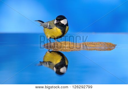 Great Tit Is Reflected In Water