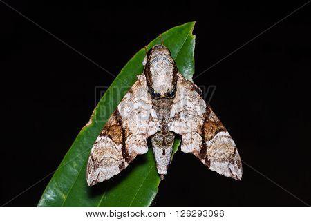 Oblique-banded Hawk Moth