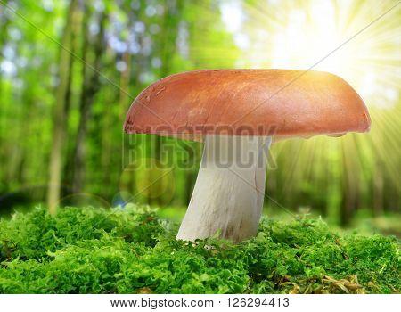 Mushroom Russula in green moss.