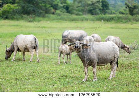 buffalo machine of farm. Mammal animal Thai buffalo in grass field